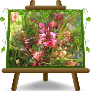 Grevillea-Johnsonii-min