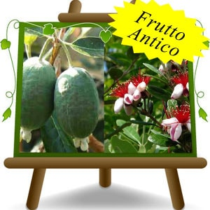 Feijoa-(it)-min